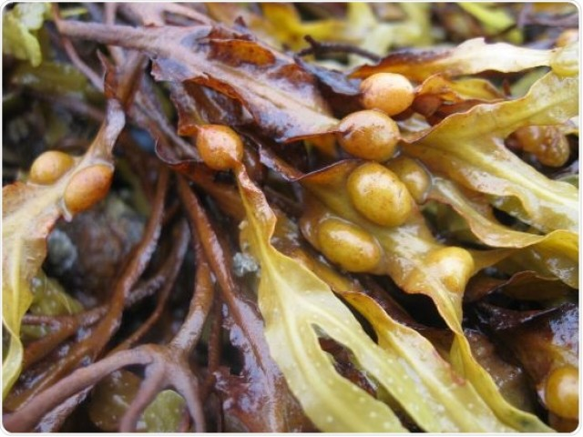 Seaweed extract shows promise in treating H. pylori-related diseases, gastric cancer